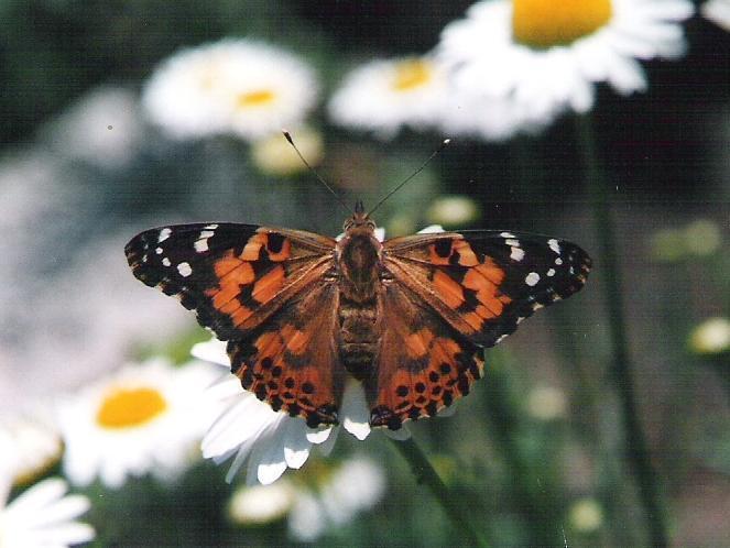 papillons diurnes du qu bec belle dame. Black Bedroom Furniture Sets. Home Design Ideas